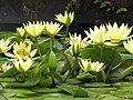 Starr-100803-8461-Nymphaea sp-yellow flowering habit-Enchanting Floral Gardens of Kula-Maui (24927685382).jpg