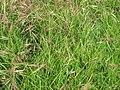 Starr-110628-6350-Bromus diandrus-seeding habit-Kula-Maui (25004137341).jpg