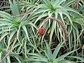 Starr-120403-4162-Aloe arborescens-flowers deformed by mites-Kula-Maui (24511686333).jpg