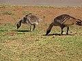 Starr-130319-3111-Plantago lanceolata-habit with Nene and gosling foraging-Kilauea Pt NWR-Kauai (24913054320).jpg