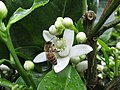 Starr-150301-0365-Citrus sinensis-Washington navel flower with honey bee-Hawea Pl Olinda-Maui (24897522989).jpg