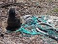 Starr-150328-0923-Coronopus didymus-rope and Laysan Albatross chick-Northeast Coast Eastern Island-Midway Atoll (24973906710).jpg