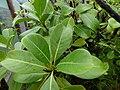 Starr-170727-0558-Psychotria mariniana-leaves-Makamakaole-Maui - Flickr - Starr Environmental.jpg