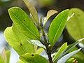 Starr-180909-0744-Syzygium sandwicensis-leaves-Lower Kula Pipeline Waikamoi-Maui (45815344561).jpg