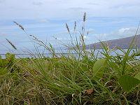 Starr 010309-0525 Cenchrus ciliaris