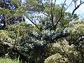 Starr 010715-0033 Ficus cf. platypoda.jpg