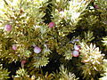 Starr 021114-0033 Leptecophylla tameiameiae.jpg