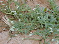 Starr 030330-0007 Heliotropium curassavicum.jpg