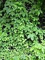 Starr 030807-0029 Dioscorea pentaphylla.jpg
