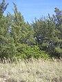 Starr 031108-0044 Casuarina equisetifolia.jpg