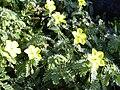 Starr 040331-0240 Tribulus cistoides.jpg