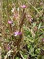 Starr 040723-0034 Dianthus armeria.jpg