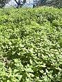 Starr 050222-0069 Tetragonia tetragonioides.jpg