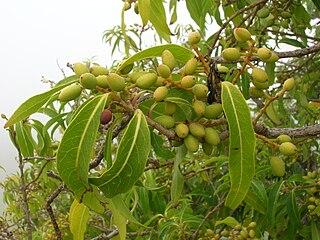 <i>Nestegis sandwicensis</i> Species of tree