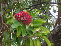 Starr 060429-9482 Santalum freycinetianum var. lanaiense.jpg