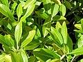 Starr 061108-9615 Rauvolfia sandwicensis.jpg