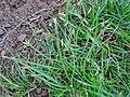 Starr 070118-3493 Cyperus gracilis.jpg