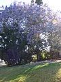 Starr 070525-7164 Jacaranda mimosifolia.jpg