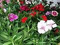 Starr 070906-8660 Dianthus barbatus.jpg