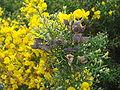 Stauracanthus boivinii 5.JPG