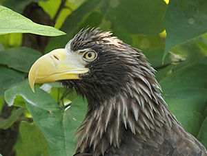 Steller's sea eagle - Detail of head – taken at the Cincinnati Zoo