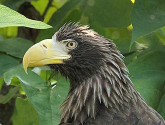 Steller's sea eagle - Detail of head – taken at the Cincinnati Zoo