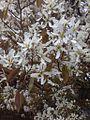 Strauch mit weißen Blüten.jpg