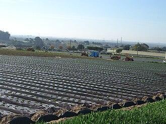 Elkhorn, California - Strawberry fields in Elkhorn