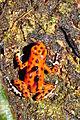 Strawberry poison-dart frog (Oophaga pumilio or Dendrobates pumilio) (9467482996).jpg