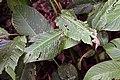 Strelitzia reginae 6zz.jpg