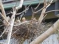 Strepera graculina chick 1.jpg