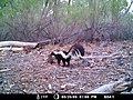 Striped skunk (6659381729).jpg