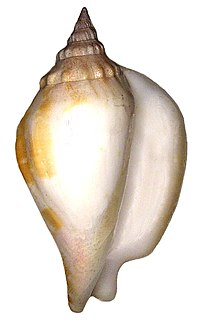 <i>Labiostrombus epidromis</i> species of mollusc