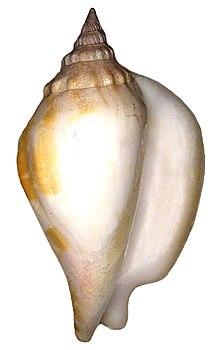 Strombus epidromis Linné, 1758 (4187450393).jpg