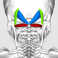 Suboccipital triangle10.png