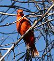 Summer Tanager. Piranga rubra - Flickr - gailhampshire.jpg