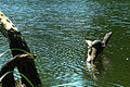 Sumpfschildkröten beim Sonnenbad im großen Teich vom Georgengarten in Hannover.jpg