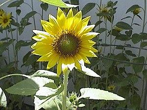 Image histogram - Sunflower image