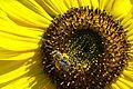 Sunflower Pollen.jpg
