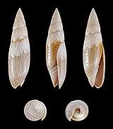 Swainsonia fissurata 01.JPG
