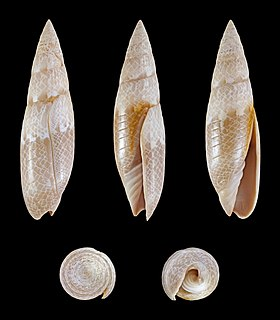 <i>Swainsonia fissurata</i> species of mollusc
