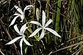 Swamp Lily-003.jpg