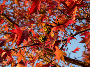 Liquidambar - Image: Sweetgum in autumn
