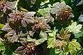 Sycamore Acer pseudoplatanus at Riverside Moorings, Shoreham, West Sussex, England.jpg