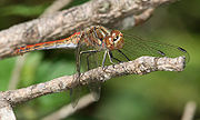 Sympetrum sp Richard Bartz.jpg