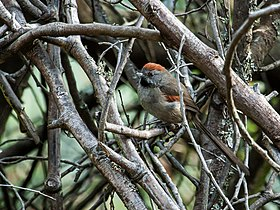 Synallaxis subpudica - Silvery-throated Spinetail.jpg