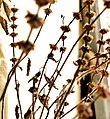 TULSI PLANT.jpg