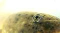 Tadpole, eye (5941212513).png