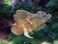 Taenianotus triacanthus Aquarium tropical du Palais de la Porte Dorée 10042016.jpg