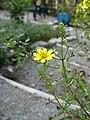 Tagetes lemmonii 5.jpg